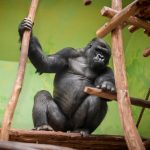 New gorilla makes himself at home in Antwerp Zoo